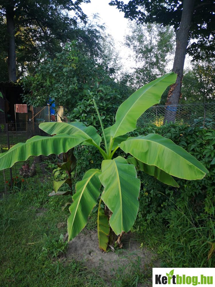 Banánfa a nyaraló sarkában
