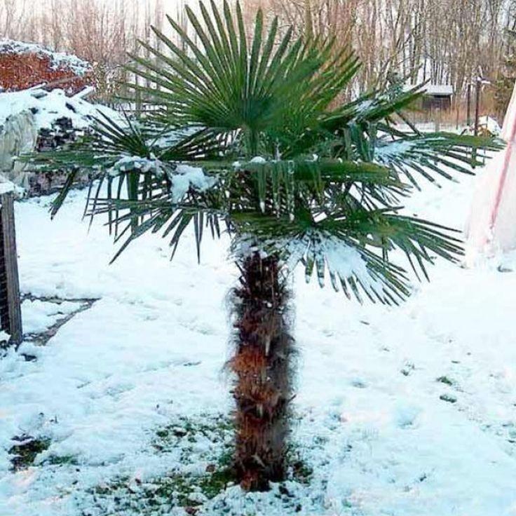 Kínai kenderpálma télen hóval borítva