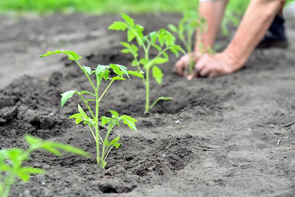 Paradicsom ültetési sortáv