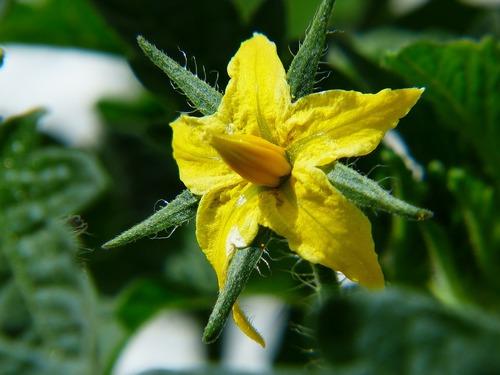 Paradicsom virága