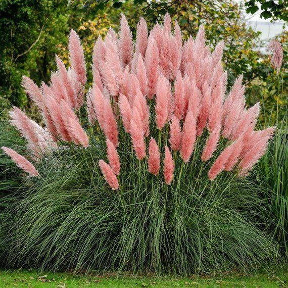 Rózsaszín Pampafű