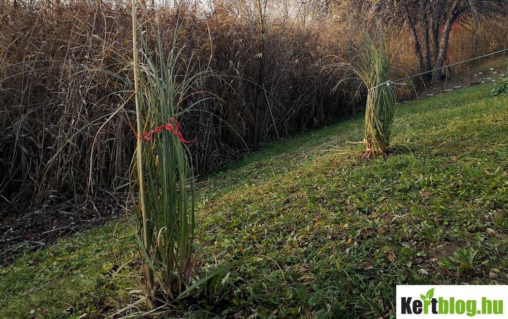 Pampafű teleltetése, összekötözése ősszel