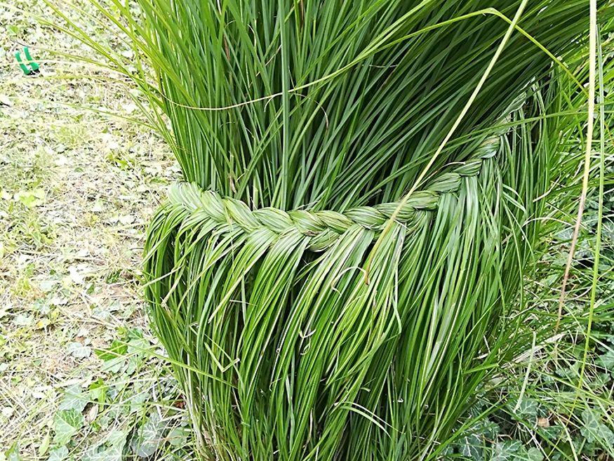 Pampafű fonása, teleltetése